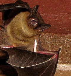 Bat in Chimney